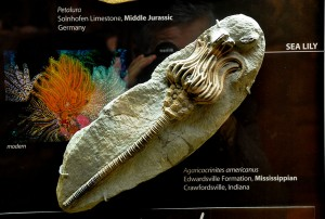 Вкаменелост от музея на створението 1