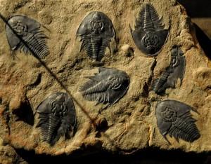 Вкаменелост от музея на створението 3